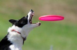 Un chien joue au frisbee à Moscou, le 6 août 2011