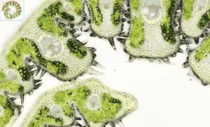 Biologie végétale - Feuille d'Oyat / NIPIB / Itop Education