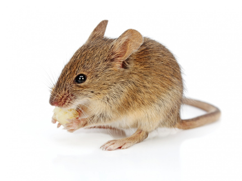SVT : l'interdiction de dissection des souris est annulée